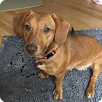 Adopt A Pet :: Stella - Joliet, IL