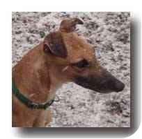 Greyhound Dog for adoption in Roanoke, Virginia - Peepers