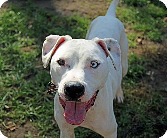 Boxer/Dalmatian Mix Dog for adoption in Tinton Falls, New Jersey - Blue