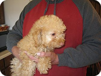 Poodle (Miniature) Puppy for adoption in Greenville, Rhode Island - Neville Longbottom