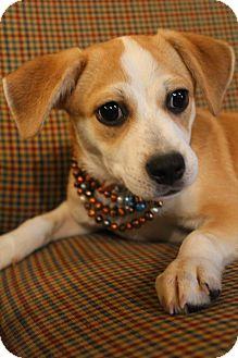Beagle/Chihuahua Mix Puppy for adoption in Hamburg, Pennsylvania - Paris