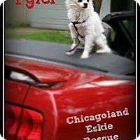 Adopt A Pet :: Tyler - Elmhurst, IL