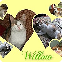 Adopt A Pet :: Willow - Washington, DC