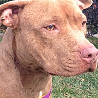 Pit Bull Terrier Dog for adoption in Sacramento, California - Ginger