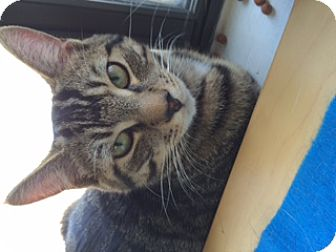Domestic Shorthair Cat for adoption in Marlton, New Jersey - Cody
