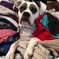 Adopt A Pet :: Stella - Acushnet, MA
