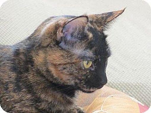 British Shorthair Cat for adoption in Los Angeles, California - Lorna
