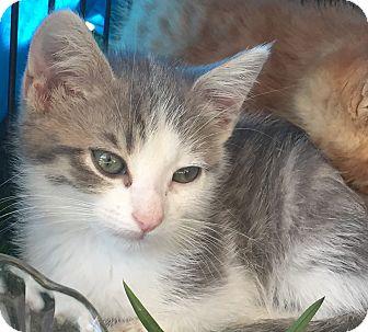 Domestic Mediumhair Cat for adoption in Salisbury, North Carolina - Smokey