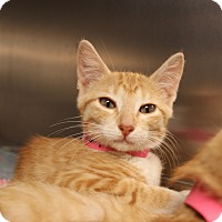 Domestic Shorthair Kitten for adoption in Dallas, Texas - Maryann