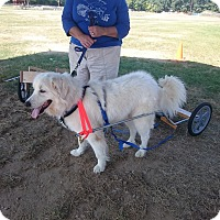 Great Pyrenees Dog for adoption in Lee, Massachusetts - Powder - in  NY