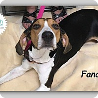 Treeing Walker Coonhound Mix Dog for adoption in Plainfield, Illinois - Fancy