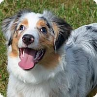 Australian Shepherd Puppy for adoption in St. Louis, Missouri - Haylo