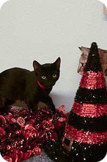 Domestic Shorthair Kitten for adoption in Phoenix, Arizona - NYLA