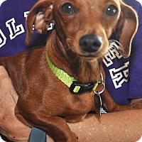 Dachshund Dog for adoption in Dallas, Texas - Sadie