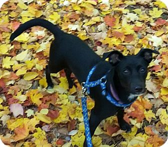 Labrador Retriever/Retriever (Unknown Type) Mix Puppy for adoption in Manchester, New Hampshire - Libby