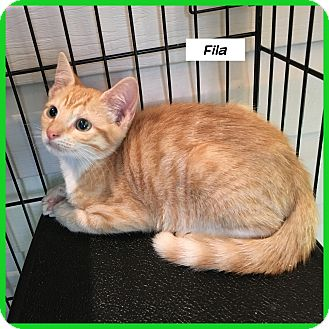 Domestic Shorthair Cat for adoption in Miami, Florida - Fila