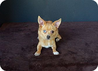Chihuahua Dog for adoption in Van Nuys, California - Apple