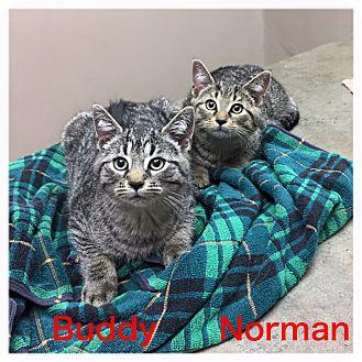 Domestic Shorthair Kitten for adoption in Woodstock, Ontario - Norman