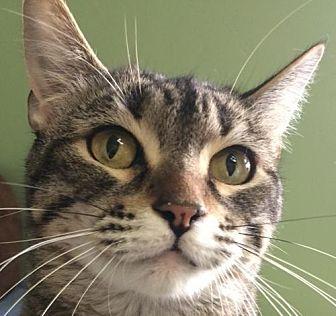 Domestic Shorthair Cat for adoption in Auburn, California - Trish
