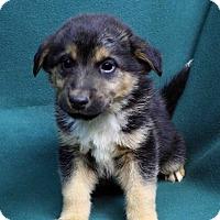 Adopt A Pet :: ARLO - Westminster, CO