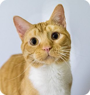 Domestic Shorthair Cat for adoption in Seville, Ohio - Dr. Dre