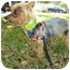 Photo 3 - Yorkie, Yorkshire Terrier Dog for adoption in West Palm Beach, Florida - Randy
