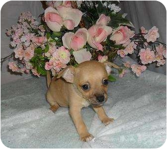 Chihuahua Puppy for adoption in Chandlersville, Ohio - Puppy 1
