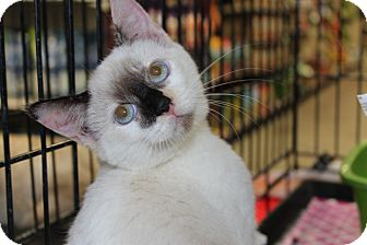 Snowshoe Kitten for adoption in Santa Monica, California - Willow
