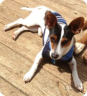 Jack Russell Terrier Mix Dog for adoption in Manchester, New Hampshire - Jake