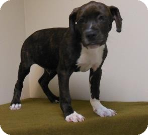 Pit Bull Terrier Mix Puppy for adoption in Gary, Indiana - Billy