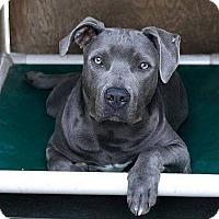 Adopt A Pet :: BLUE - Huntington Beach, CA