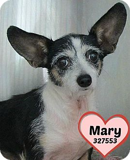 Chihuahua/Dachshund Mix Dog for adoption in San Antonio, Texas - 327553 Mary