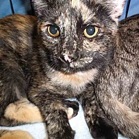 Adopt A Pet :: Cersi - Gaithersburg, MD