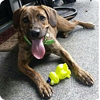 Adopt A Pet :: Maddie - Harmony, Glocester, RI