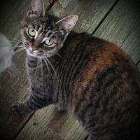 American Shorthair Cat for adoption in Columbus, Ohio - Halo
