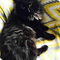 Adopt A Pet :: Jumbalaya - Addison, IL