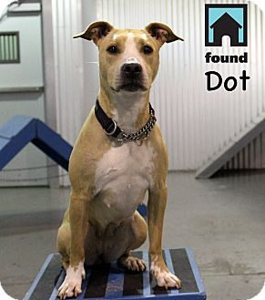 Pit Bull Terrier Mix Dog for adoption in Chicago, Illinois - Dot