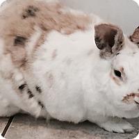 Adopt A Pet :: Ginny - Fairfax, VA