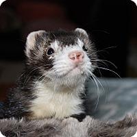 Ferret for adoption in Chantilly, Virginia - Franklin