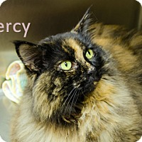 Domestic Longhair Cat for adoption in Hamilton, Montana - Mercy