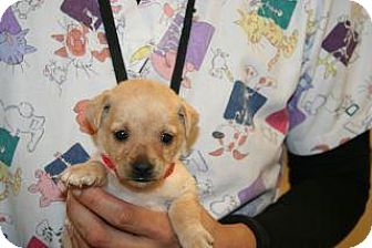Terrier (Unknown Type, Small) Mix Puppy for adoption in Wildomar, California - Bailey
