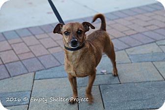 Terrier (Unknown Type, Small)/Chihuahua Mix Dog for adoption in Manassas, Virginia - Toby *Im overlooked*