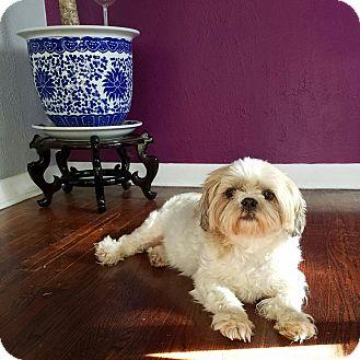Shih Tzu Dog for adoption in Denver, Colorado - Ivy