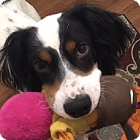 English Setter Dog for adoption in Pine Grove, Pennsylvania - RUGER
