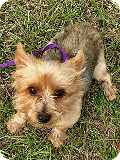 Yorkie, Yorkshire Terrier Dog for adoption in Mary Esther, Florida - Strawberry