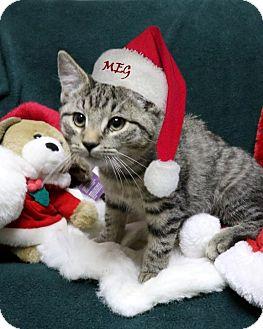 Domestic Shorthair Kitten for adoption in Rochester, New York - Meg
