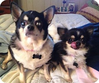 Chihuahua Dog for adoption in Barrington, Rhode Island - Suzy, Clementine