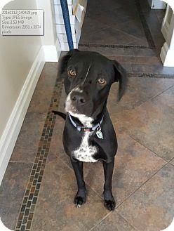 Labrador Retriever Mix Dog for adoption in Mississauga, Ontario - Peppa - Adoption Pending