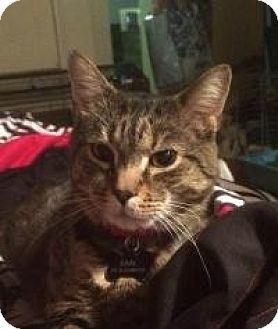 Domestic Shorthair Cat for adoption in Worcester, Massachusetts - Earl