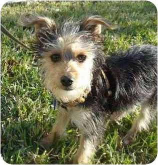 Yorkie, Yorkshire Terrier Mix Puppy for adoption in West Palm Beach, Florida - Skyler